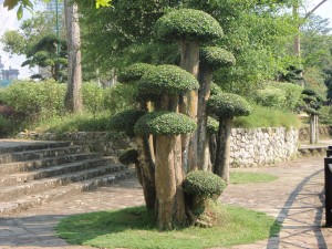 plants-for-topiary